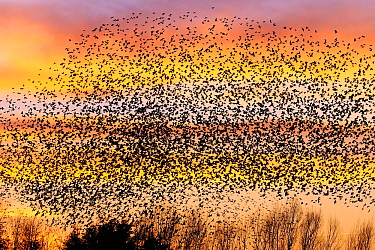Common Starling (Sturnus vulgaris) flock flying at sunset, Netherlands