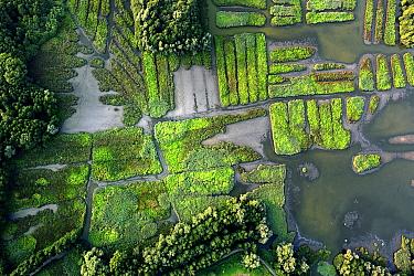 Common Reed (Phragmites australis) wetland in Molsborek Nature Reserve, Durme River Valley, Belgium
