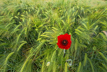 Two-rowed Barley (Hordeum vulgare) field with poppy flower, Netherlands