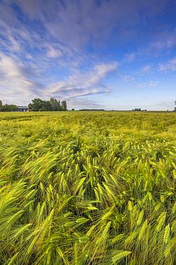 Two-rowed Barley (Hordeum vulgare) field, Netherlands