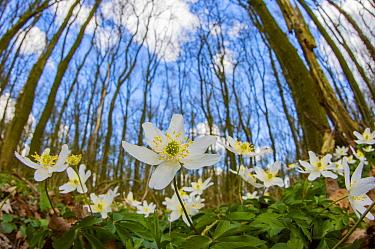 Wood Anemone (Anemone nemorosa) flowers in forest, Netherlands