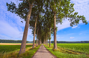 Gray Poplar (Populus canescens) trees along path on reclaimed polder,  Netherlands