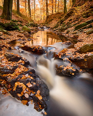 European Beech (Fagus sylvatica) leaves in creek in autumn, Ardennes, Belgium