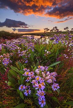 Sea Aster (Aster tripolium) flowering in saltmarsh, Netherlands