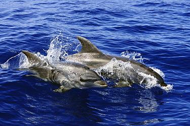 Bottlenose Dolphin (Tursiops truncatus) pair porpoising, Spain