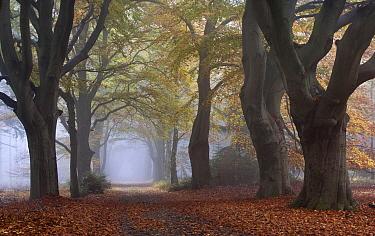 European Beech (Fagus sylvatica) trees along road in autumn, Netherlands