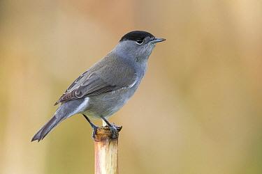 Blackcap (Sylvia atricapilla) male, Portugal