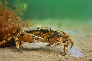 Common Shore Crab (Carcinus maenas), Netherlands