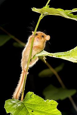 Common Dormouse (Muscardinus avellanarius) climbing vegetation, Belgium