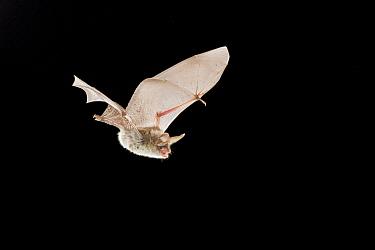 Bechstein's Bat (Myotis bechsteinii) flying, Belgium