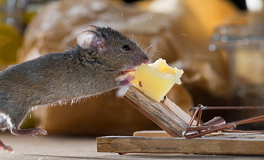 House Mouse (Mus musculus) feeding on cheese on mouse trap, Belgium