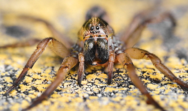 Wolf Spider (Lycosidae) showing multiple eyes and large mandibles, Spain