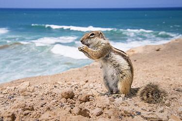 Barbary Ground Squirrel (Atlantoxerus getulus) feeding on the coast of La Pared on Fuerteventura, Spain
