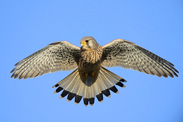 Eurasian Kestrel (Falco tinnunculus) flying, Netherlands