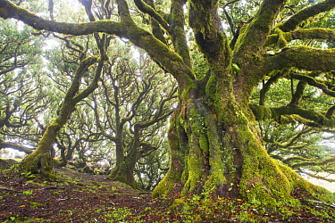 Bay Laurel (Laurus nobilis) old trees in fog, Madeira, Portugal