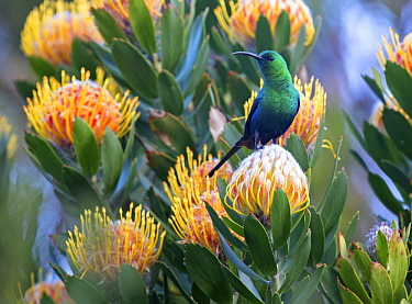 Malachite Sunbird (Nectarinia famosa) male on protea flower, Cape Town, South Africa