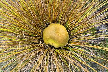 Common Earthball (Scleroderma citrinum) mushroom, Netherlands