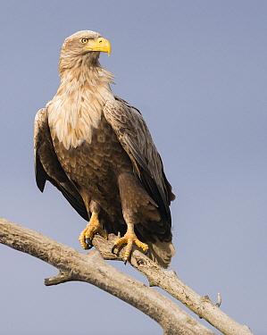 White-tailed Eagle (Haliaeetus albicilla), Romania