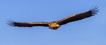 White-tailed Eagle (Haliaeetus albicilla) flying, Romania