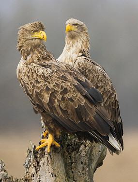 White-tailed Eagle (Haliaeetus albicilla) pair, Romania