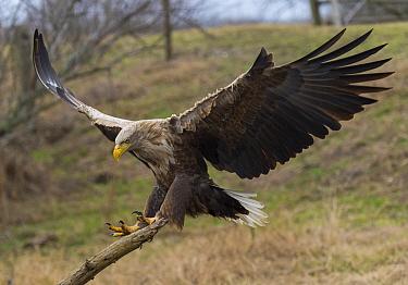 White-tailed Eagle (Haliaeetus albicilla) landing, Romania