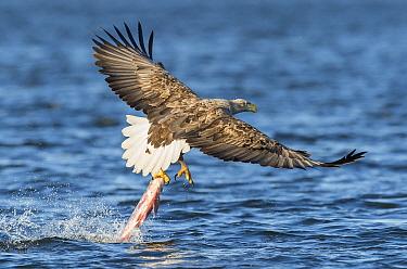 White-tailed Eagle (Haliaeetus albicilla) catching fish, Romania