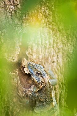 Black Spiny-tailed Iguana (Ctenosaura similis) climbing tree, Costa Rica