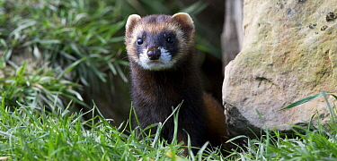 European Polecat (Mustela putorius), Wales, United Kingdom