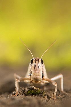 Migratory Locust (Locusta migratoria), Netherlands