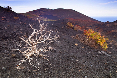 Firetree (Myrica faya) on volcanic hillside, La Palma Island, Spain