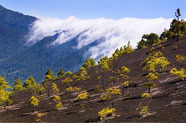 Canary Island Pine (Pinus canariensis) trees on volcanic hillside, La Palma Island, Spain