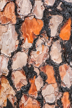 Canary Island Pine (Pinus canariensis) burnt bark, La Palma Island, Spain