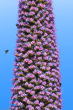 Honey Bee (Apis mellifera) approaching Tower of Jewels (Echium wildpretii), La Palma Island, Spain