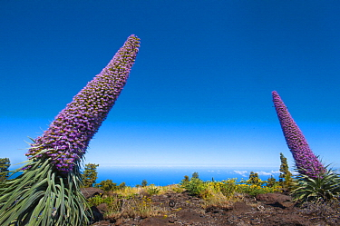 Tower of Jewels (Echium wildpretii) flowering, La Palma Island, Spain