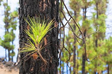 Canary Island Pine (Pinus canariensis) young needles, La Palma Island, Spain