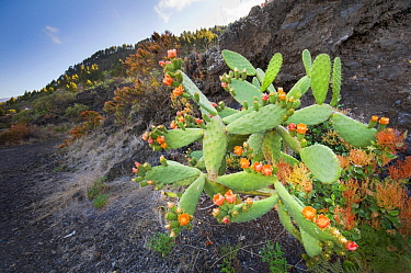 Barbary Fig (Opuntia ficus-indica) cactus flowering in volanic soil, La Palma Island, Spain