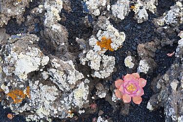 Tree Houseleek (Aeonium davidbramwellii) succulent in volcanic rock, La Palma Island, Spain