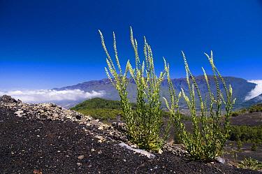 Weld (Reseda luteola) on volcanic hillside, La Palma Island, Spain