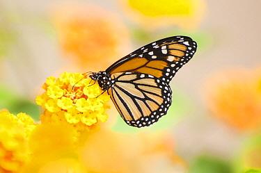 Monarch (Danaus plexippus) butterfly, La Palma Island, Spain