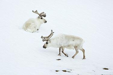 Svalbard Reindeer (Rangifer tarandus platyrhynchus) males in snow, Svalbard, Norway
