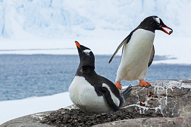 Gentoo Penguin (Pygoscelis papua) offering partner rock for nest, Antarctica