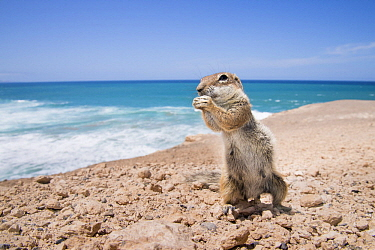 Barbary Ground Squirrel (Atlantoxerus getulus) feeding on rocky coast of La Pared,  Fuerteventura, Spain