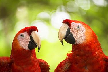 Scarlet Macaw (Ara macao) pair, Costa Rica