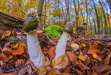 Common Stinkhorn (Phallus impudicus) mushrooms in beech forest, Netherlands