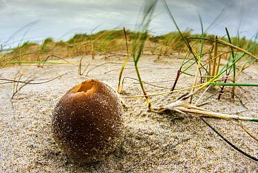 Cup Fungus (Peziza ammophila) on beach, Netherlands