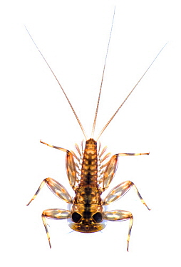 Mayfly (Rhithrogena sp) nymph, France