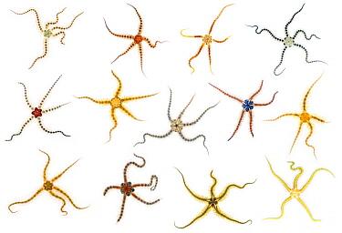 Common Brittlestar (Ophiothrix fragilis) group, composite image, Netherlands