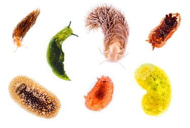 Nudibranch (Aeolidiella alderi), Sacoglossan (Elysia viridis), Shagrug Nudibranch (Aeolidia papillosa), Nudibranch (Goniodoris castanea), Barnacle-eating Onchidoris (Onchidoris bilamellata), Hairy Spi...
