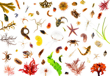 Toothed Wrack (Fucus serratus), Clam Worm (Nereis pelagica), Butterfish (Pholis gunnellus), etc showing diversityh of North Sea marine life, Oosterschelde National Park, Netherlands