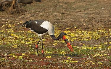 Saddle-billed Stork (Ephippiorhynchus senegalensis) with catfish prey, South Luangwa National Park, Zambia